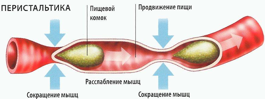 Как улучшить работу (моторику) кишечника: продукты, препараты и народная медицина