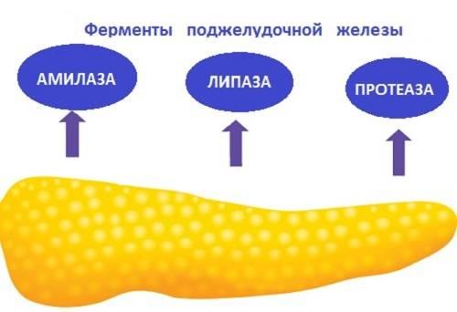Экзокринная и инкреторная функция поджелудочной железы