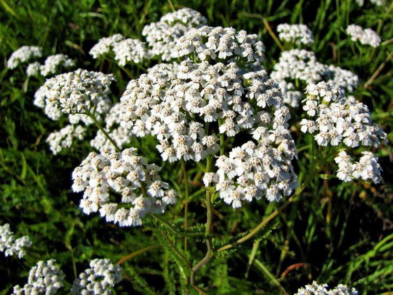 ТОП 10 самых эффективных трав от геморроя: рецепты и способы применения