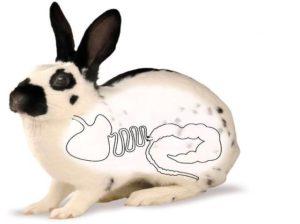 Что делать, если у кролика появился запор?