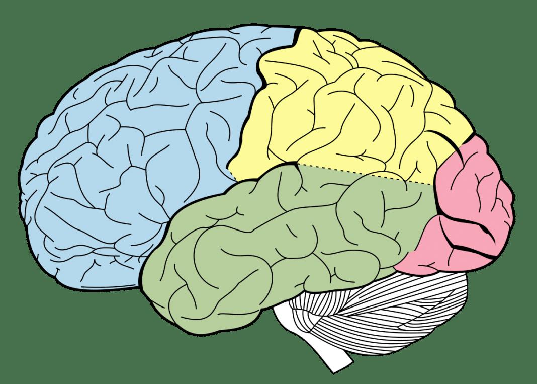 Доли головного мозга – их роль в восприятии внешнего мира и взаимодействии с ним