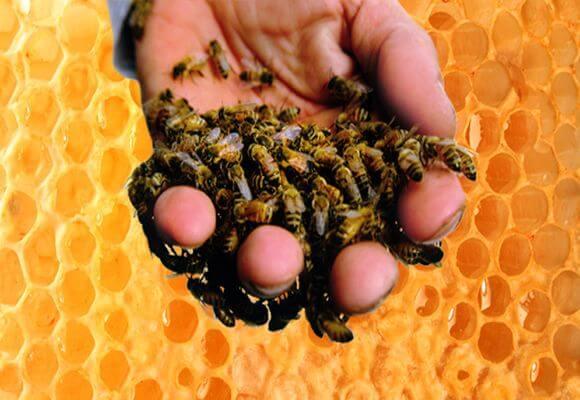 Эффективное лечение варикозного расширения вен пчелами