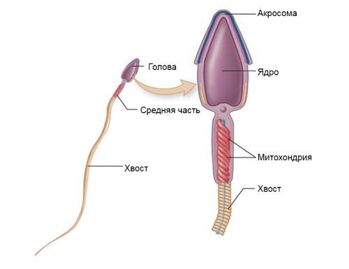 Как улучшить качество спермы