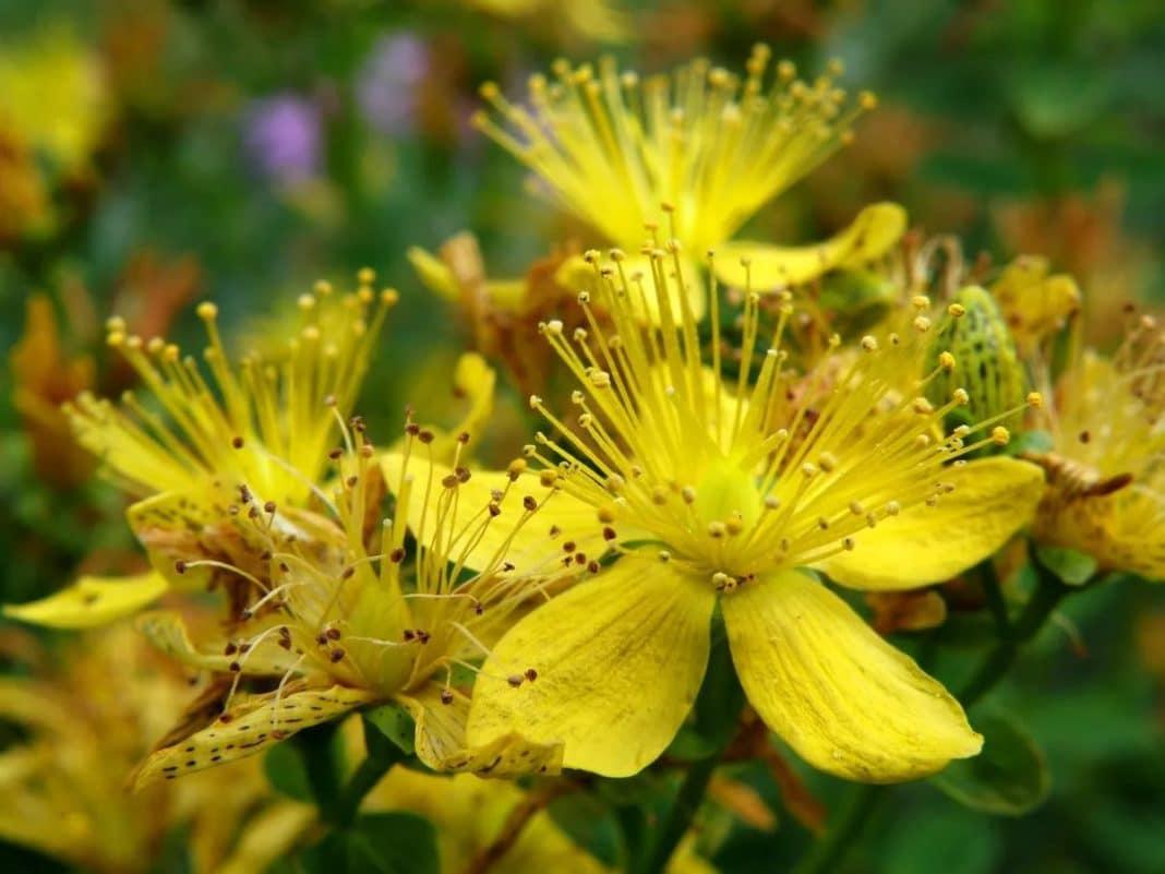 Лечение бессонницы травами: от чая до аромаподушек