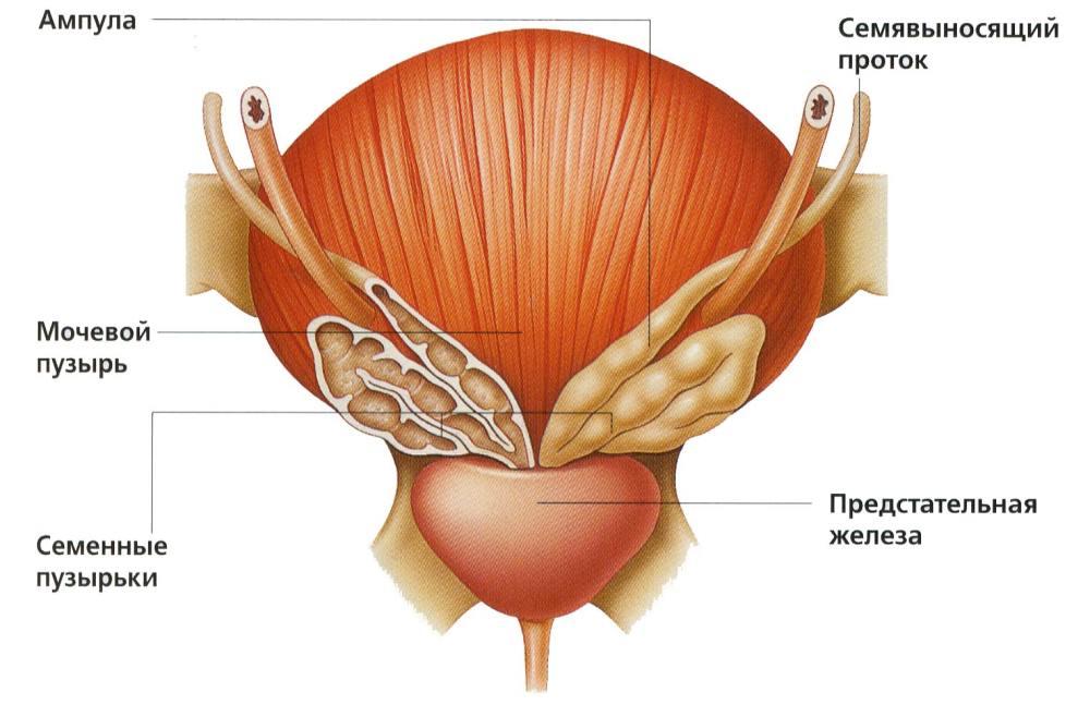 Упражнения для профилактики простатита: самые эффективные методики