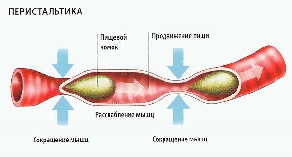 Что такое перистальтика кишечника?