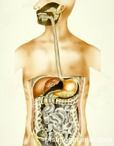 Нижний пищеводный сфинктер, или Кардия желудка