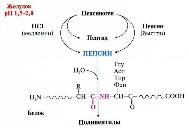 В какой среде действуют ферменты желудочного сока