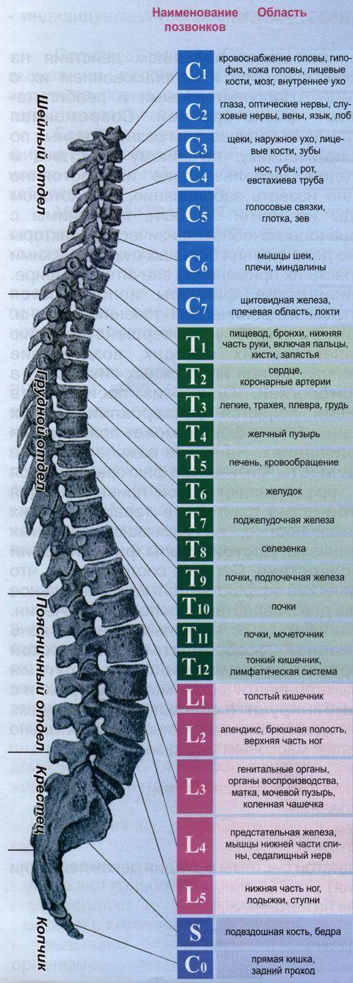 соответствие позвонков внутренним органам схема