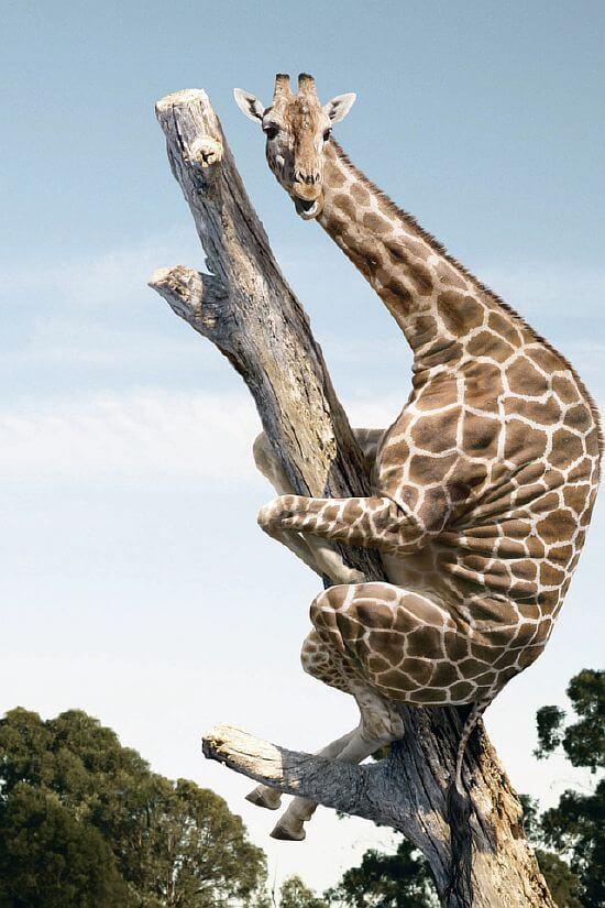 жираф, сидящий на дереве (шутка) как картина истерики