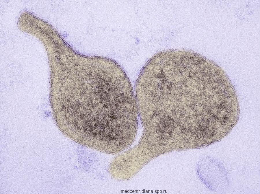 Возбудитель Mycoplasma genitalium
