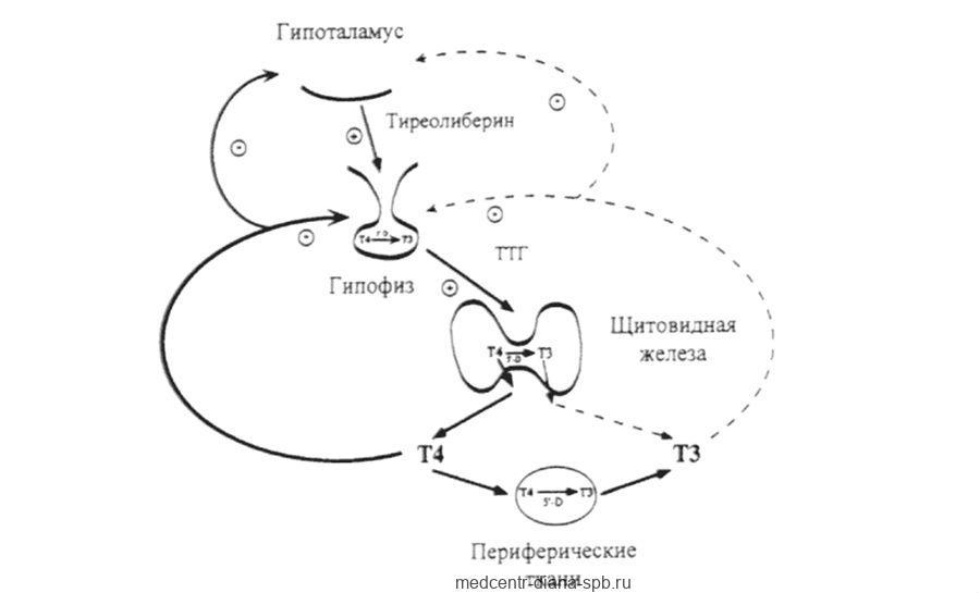 Регуляция гормонов щитовидной железы