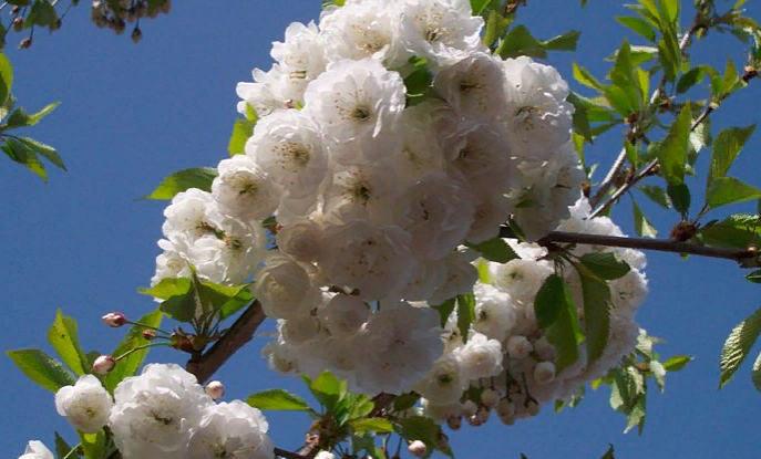 как цветет черешня