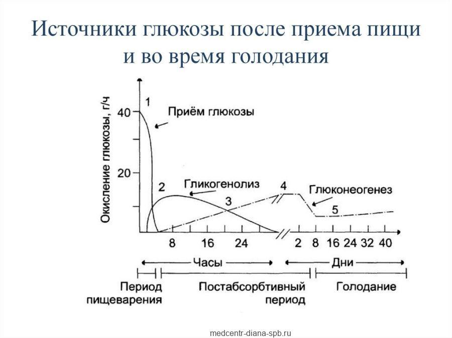 Источники глюкозы после приема пищи и во время голодания