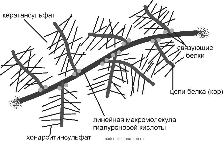 Структура протеогликанов внеклеточного матрикса (схема)