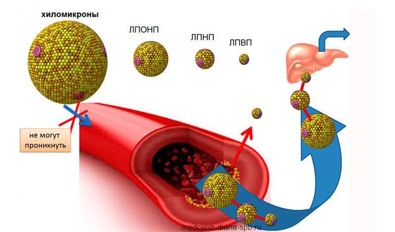 Холестерин и липопротеины